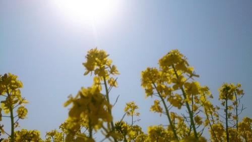 太陽と菜の花.jpg