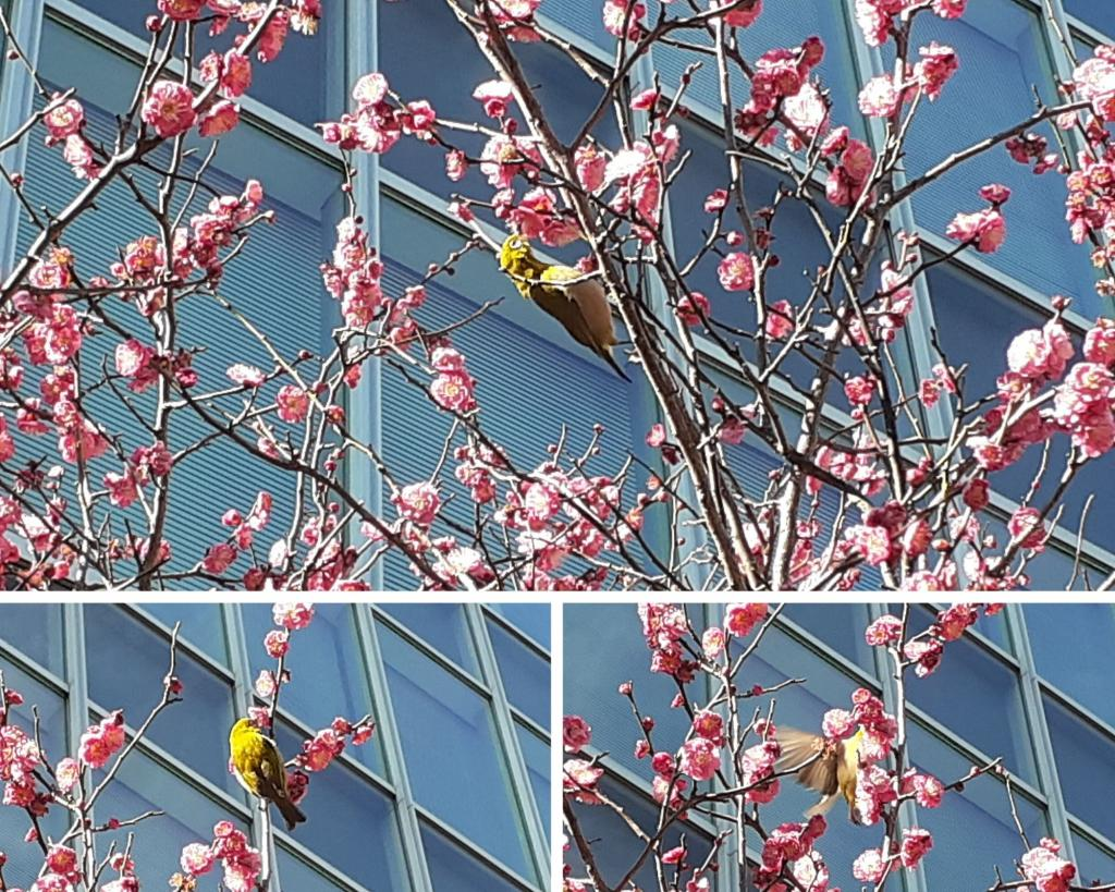 Here is Chuo-ku, too? Coming of spring to feel near