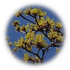"""春天在天空映照的""""春天黃金花""""(harukoganebana)"""