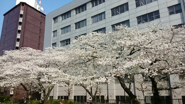As for Kamei Bridge park, the cherry blossoms of Sumida River terrace, taste of ancient city where cherry blossoms in full bloom bloom beat against *