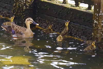 Spotbill duck parent and child did in Ishikawajima Park!