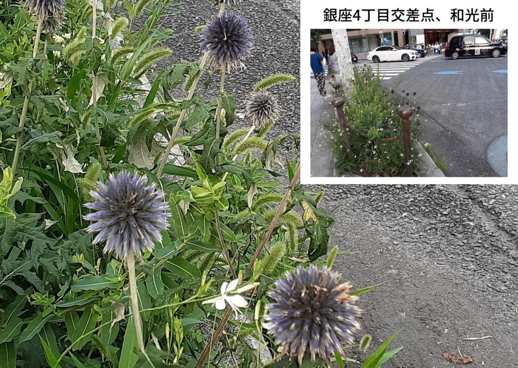 在诞生花循环的中央区~8月编~