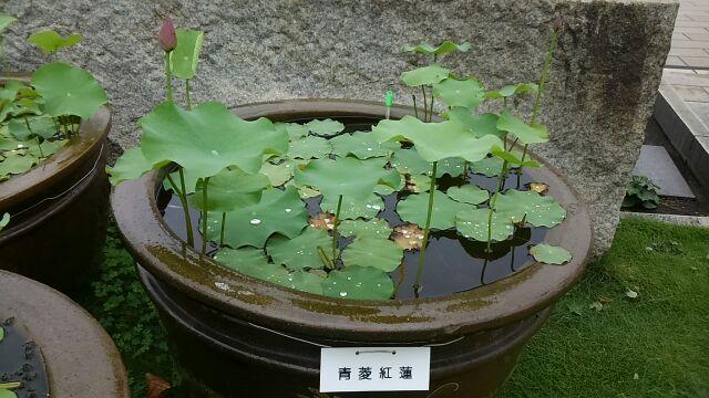 参拜纪念莲的花在院内的莲作为花期的筑地本愿寺7月看时分