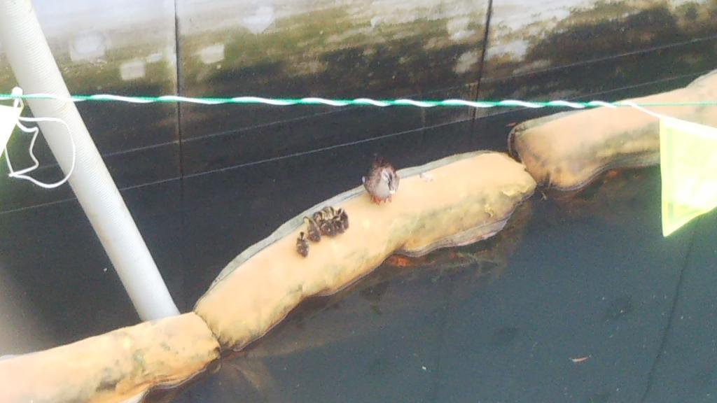 像发现龟岛河的karugamo父母子女雨尼莫负kezu一样在供工程使用的V上再度的尼莫负kezu