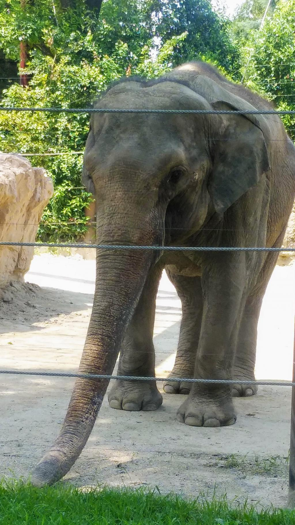 Elephant came to the town of Edo.
